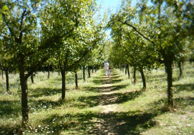 Pflaumengarten der Azienda Agricola San Benedetto 2013